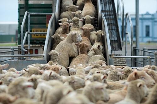 sheepslaughter1
